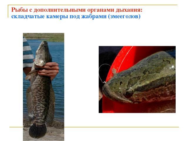 Рыбы с дополнительными органами дыхания: складчатые камеры под жабрами (змееголов)