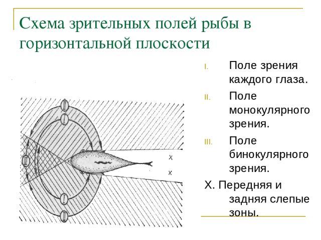 Схема зрительных полей рыбы в горизонтальной плоскости Поле зрения каждого глаза. Поле монокулярного зрения. Поле бинокулярного зрения. Х. Передняя и задняя слепые зоны.