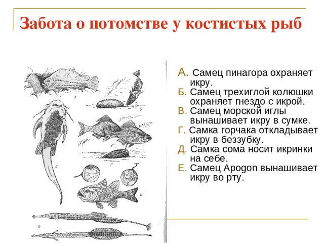 Забота о потомстве у костистых рыб А. Самец пинагора охраняет икру. Б. Самец трехиглой колюшки охраняет гнездо с икрой. В. Самец морской иглы вынашивает икру в сумке. Г. Самка горчака откладывает икру в беззубку. Д. Самка сома носит икринки на себе.…