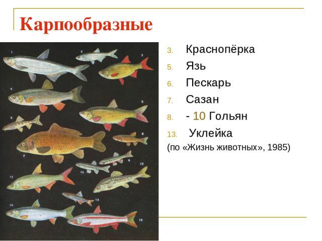 Карпообразные Краснопёрка Язь Пескарь Сазан - 10 Гольян Уклейка (по «Жизнь животных», 1985)