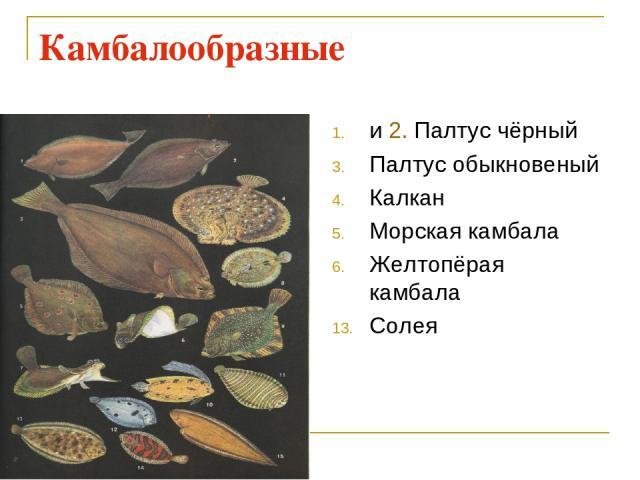 Камбалообразные и 2. Палтус чёрный Палтус обыкновеный Калкан Морская камбала Желтопёрая камбала Солея