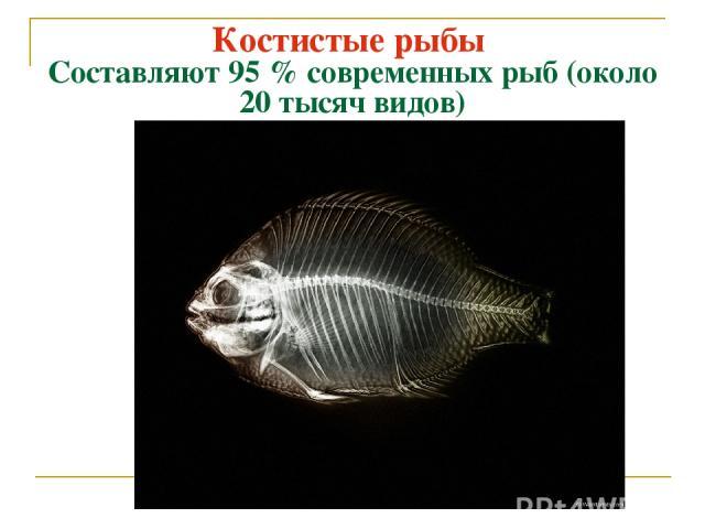 Костистые рыбы Составляют 95 % современных рыб (около 20 тысяч видов)