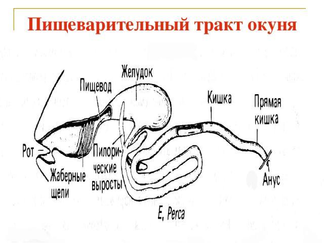 Пищеварительный тракт окуня