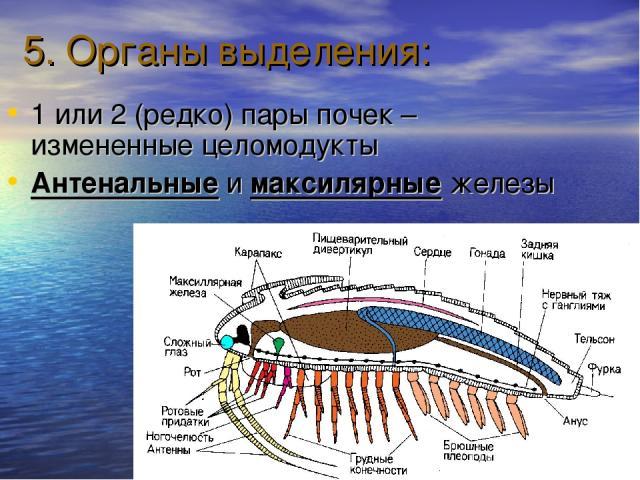 5. Органы выделения: 1 или 2 (редко) пары почек – измененные целомодукты Антенальные и максилярные железы