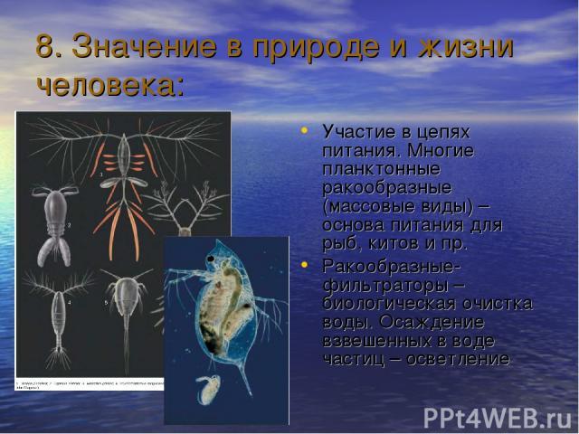 8. Значение в природе и жизни человека: Участие в цепях питания. Многие планктонные ракообразные (массовые виды) – основа питания для рыб, китов и пр. Ракообразные-фильтраторы – биологическая очистка воды. Осаждение взвешенных в воде частиц – осветление
