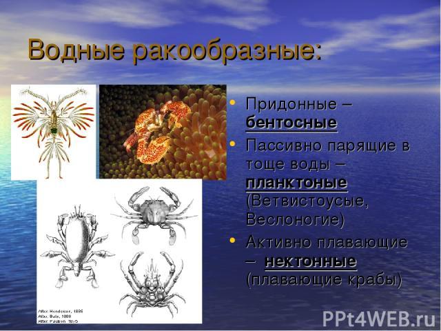 Водные ракообразные: Придонные – бентосные Пассивно парящие в тоще воды – планктоные (Ветвистоусые, Веслоногие) Активно плавающие – нектонные (плавающие крабы)
