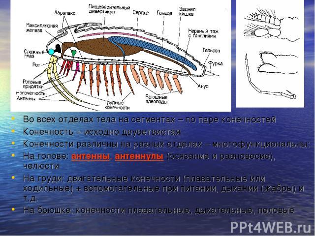 Во всех отделах тела на сегментах – по паре конечностей Конечность – исходно двуветвистая Конечности различны на разных отделах – многофункциональны: На голове: антенны, антеннулы (осязание и равновесие), челюсти На груди: двигательные конечности (п…