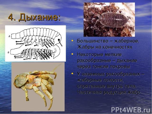 4. Дыхание: Большинство – жаберное. Жабры на конечностях Некоторые мелкие ракообразные – дыхание через тонкие покровы У наземных ракообразных – жаберные полости, спрятанные внутрь тела. Частичная редукция жабр