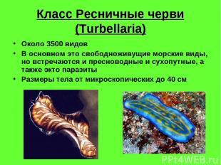Класс Ресничные черви (Turbellaria) Около 3500 видов В основном это свободноживу