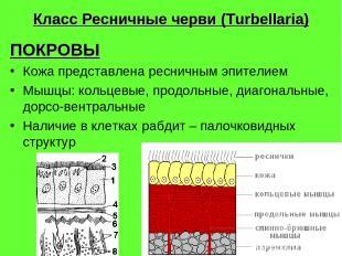 Класс Ресничные черви (Turbellaria) ПОКРОВЫ Кожа представлена ресничным эпителие