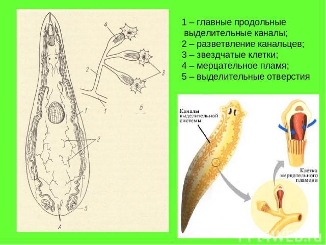 1 – главные продольные выделительные каналы; 2 – разветвление канальцев; 3 – звездчатые клетки; 4 – мерцательное пламя; 5 – выделительные отверстия
