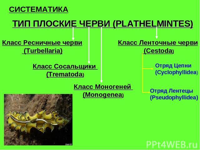СИСТЕМАТИКА ТИП ПЛОСКИЕ ЧЕРВИ (PLATHELMINTES) Класс Ресничные черви (Turbellaria) Класс Сосальщики (Trematoda) Класс Моногеней (Monogenea) Класс Ленточные черви (Cestoda) Отряд Цепни (Cyclophyllidea) Отряд Лентецы (Pseudophyllidea)