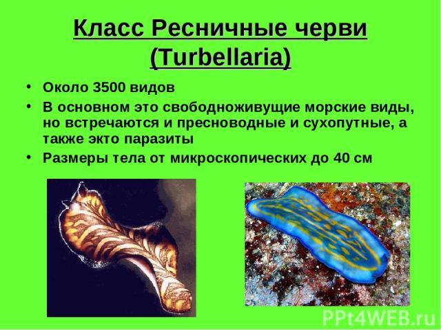 Класс Ресничные черви (Turbellaria) Около 3500 видов В основном это свободноживущие морские виды, но встречаются и пресноводные и сухопутные, а также экто паразиты Размеры тела от микроскопических до 40 см