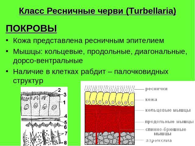 Класс Ресничные черви (Turbellaria) ПОКРОВЫ Кожа представлена ресничным эпителием Мышцы: кольцевые, продольные, диагональные, дорсо-вентральные Наличие в клетках рабдит – палочковидных структур