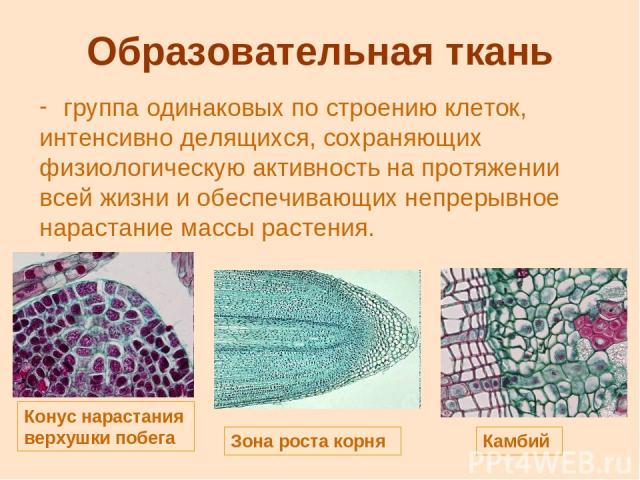 Образовательная ткань группа одинаковых по строению клеток, интенсивно делящихся, сохраняющих физиологическую активность на протяжении всей жизни и обеспечивающих непрерывное нарастание массы растения. Конус нарастания верхушки побега Зона роста кор…