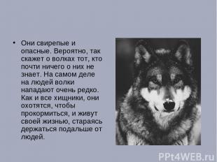 Они свирепые и опасные. Вероятно, так скажет о волках тот, кто почти ничего о ни