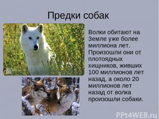 Предки собак Волки обитают на Земле уже более миллиона лет. Произошли они от пло