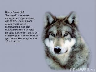 """Волк - большой? """"Большой"""", - не очень подходящее определение для волка. Обычно в"""