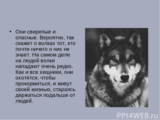 Они свирепые и опасные. Вероятно, так скажет о волках тот, кто почти ничего о них не знает. На самом деле на людей волки нападают очень редко. Как и все хищники, они охотятся, чтобы прокормиться, и живут своей жизнью, стараясь держаться подальше от людей.