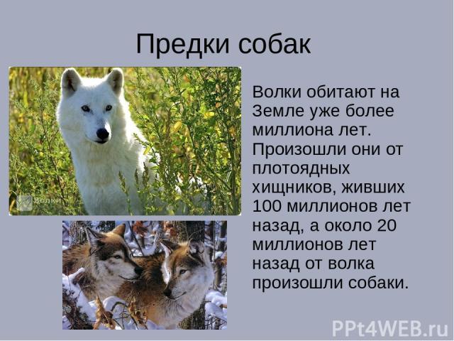 Предки собак Волки обитают на Земле уже более миллиона лет. Произошли они от плотоядных хищников, живших 100 миллионов лет назад, а около 20 миллионов лет назад от волка произошли собаки.