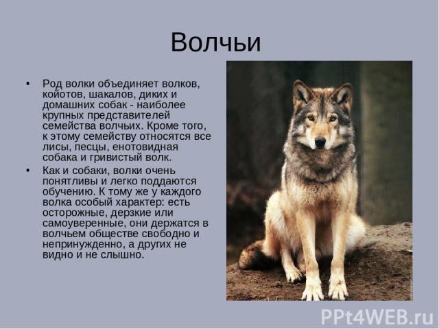 Волчьи Род волки объединяет волков, койотов, шакалов, диких и домашних собак - наиболее крупных представителей семейства волчьих. Кроме того, к этому семейству относятся все лисы, песцы, енотовидная собака и гривистый волк. Как и собаки, волки очень…
