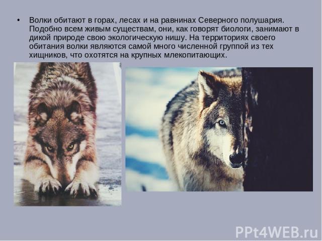Волки обитают в горах, лесах и на равнинах Северного полушария. Подобно всем живым существам, они, как говорят биологи, занимают в дикой природе свою экологическую нишу. На территориях своего обитания волки являются самой много численной группой из …
