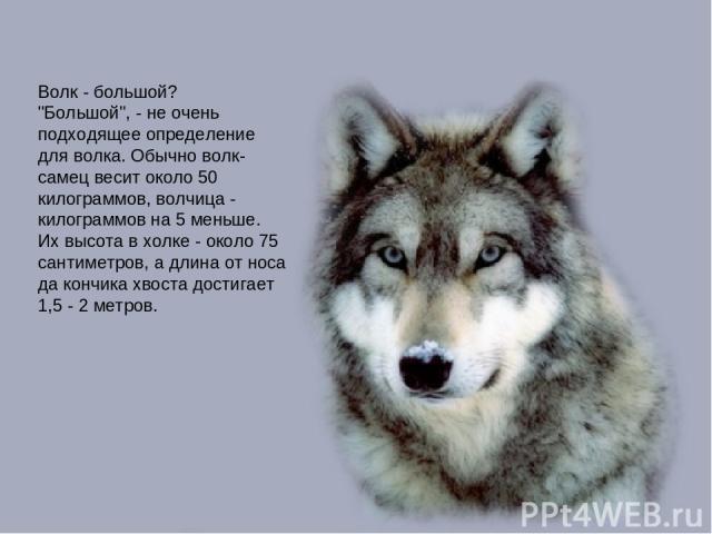 Волк - большой?