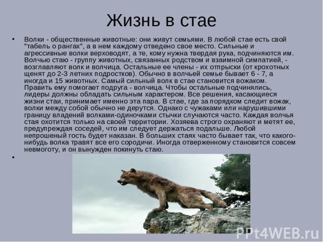 Жизнь в стае Волки - общественные животные: они живут семьями. В любой стае есть свой