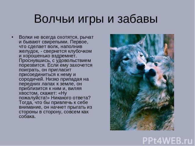 Волчьи игры и забавы Волки не всегда охотятся, рычат и бывают свирепыми. Первое, что сделает волк, наполнив желудок, - свернется клубочком и хорошенько вздремнет. Проснувшись, с удовольствием порезвится. Если ему захочется поиграть, он пригласит при…