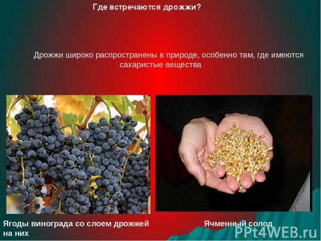 Дрожжи широко распространены в природе, особенно там, где имеются сахаристые вещества Ягоды винограда со слоем дрожжей на них Ячменный солод Где встречаются дрожжи?