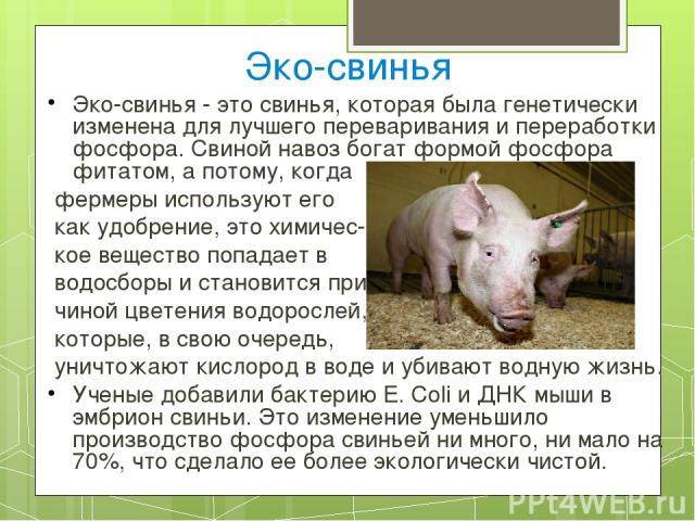 Эко-свинья Эко-свинья - это свинья, которая была генетически изменена для лучшего переваривания и переработки фосфора. Свиной навоз богат формой фосфора фитатом, а потому, когда фермеры используют его как удобрение, это химичес- кое вещество попадае…