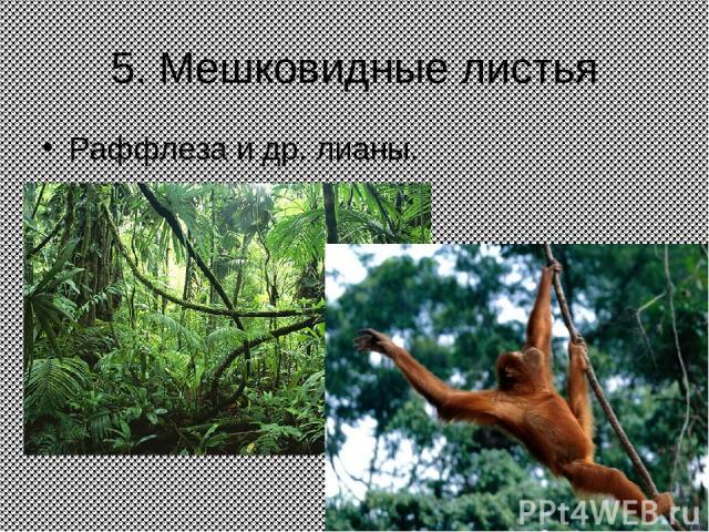 5. Мешковидные листья Раффлеза и др. лианы.