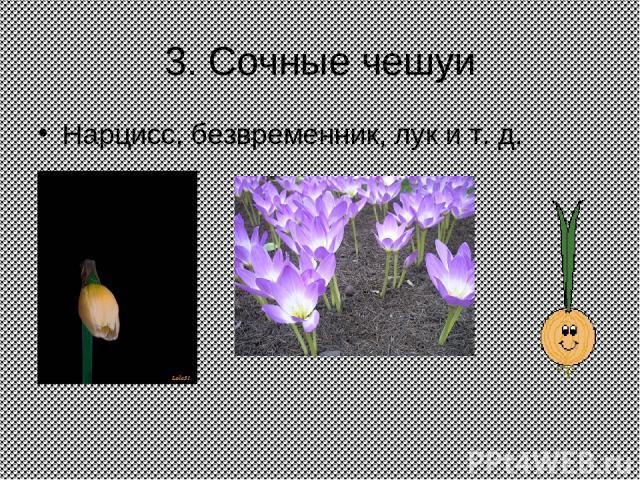 3. Сочные чешуи Нарцисс, безвременник, лук и т. д.