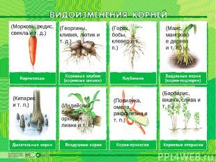 (Морковь, редис, свекла и т. д.) (Георгины, кливия, лютик и т. д.) (Горох, бобы,