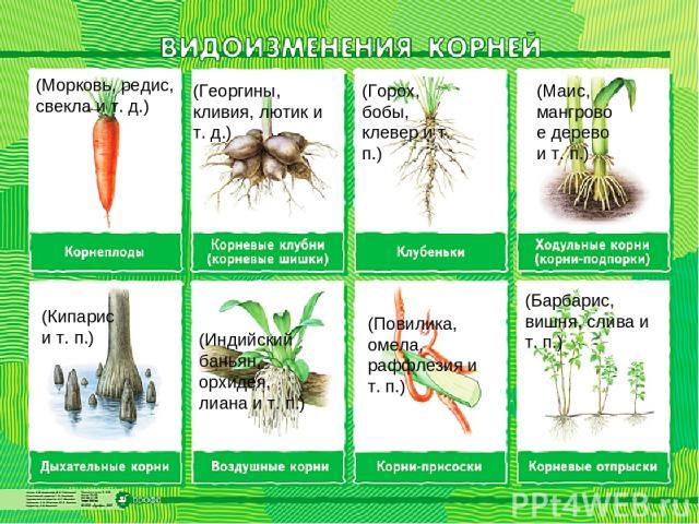 (Морковь, редис, свекла и т. д.) (Георгины, кливия, лютик и т. д.) (Горох, бобы, клевер и т. п.) (Маис, мангровое дерево и т. п.) (Кипарис и т. п.) (Индийский баньян, орхидея, лиана и т. п.) (Повилика, омела, раффлезия и т. п.) (Барбарис, вишня, сли…