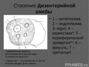 Строение Дизентерийной амебы 1 – эктоплазма; 2 – эндоплазма; 3–ядро; 4 – кариосо