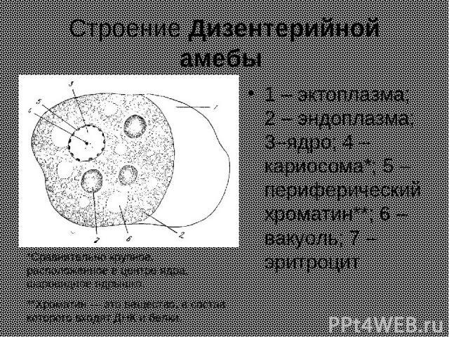 Строение Дизентерийной амебы 1 – эктоплазма; 2 – эндоплазма; 3–ядро; 4 – кариосома*; 5 – периферический хроматин**; 6 – вакуоль; 7 – эритроцит *Сравнительно крупное, расположенное в центре ядра, шаровидное ядрышко. **Хроматин — это вещество, в соста…