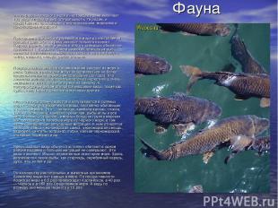 Фауна Ихтиофауна Азовского моря в настоящее время включает 103 вида и подвида ры