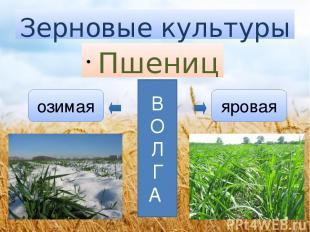 Зерновые культуры Пшеница озимая яровая В О Л Г А