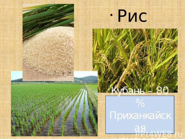 Рис Кубань – 80 % Приханкайская низменность