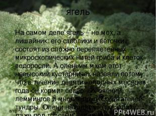 ягель На самом деле ягель – не мох, а лишайник: его стволики и веточки состоят и