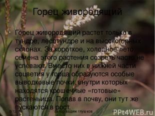 Горец живородящий Горец живородящий растет только в тундре, лесотундре и на высо