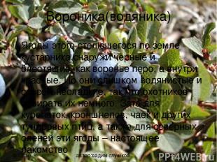 Вороника(водяника) Ягоды этого стелющегося по земле кустарника снаружи черные и