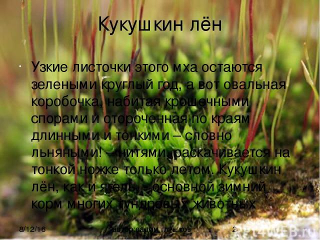 Кукушкин лён Узкие листочки этого мха остаются зелеными круглый год, а вот овальная коробочка, набитая крошечными спорами и отороченная по краям длинными и тонкими – словно льняными! – нитями, раскачивается на тонкой ножке только летом. Кукушкин лён…