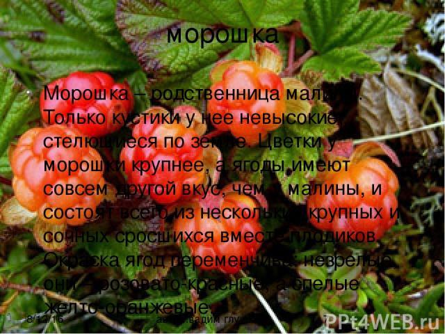 морошка Морошка – родственница малины. Только кустики у нее невысокие, стелющиеся по земле. Цветки у морошки крупнее, а ягоды имеют совсем другой вкус, чем у малины, и состоят всего из нескольких крупных и сочных сросшихся вместе плодиков. Окраска я…