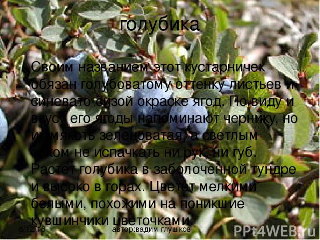 голубика Своим названием этот кустарничек обязан голубоватому оттенку листьев и синевато-сизой окраске ягод. По виду и вкусу его ягоды напоминают чернику, но их мякоть зеленоватая, а светлым соком не испачкать ни рук, ни губ. Растет голубика в забол…