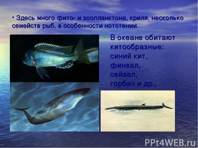 Здесь много фито- и зоопланктона, криля, несколько семейств рыб, в особенности нототении. В океане обитают китообразные: синий кит, финвал, сейвал, горбач и др.,