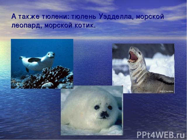 А также тюлени: тюлень Уэдделла, морской леопард, морской котик.