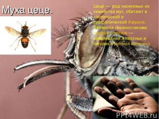 Муха цеце. Цеце — род насекомых из семейства мух, обитают в тропической и субтро