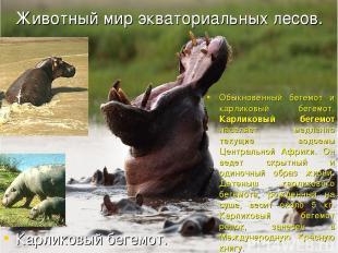 Животный мир экваториальных лесов. Обыкновенный бегемот и карликовый бегемот. Ка